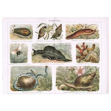 Snails. Decorative Chromo Lithograph from 1898