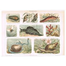 Snails Antique Chromo Lithograph from 1900