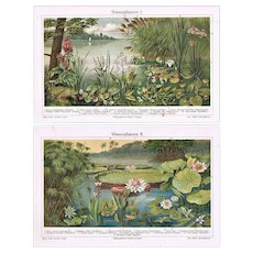 Two Old Lithographs with Water Plants from 1900