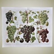 Decorative Lithograph with Grapes from 1900