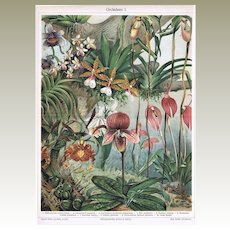 Orchids Decorative Chromo Lithograph from 1900