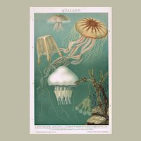 Jellyfish, Medusa. Old Chromolithograph from 1900