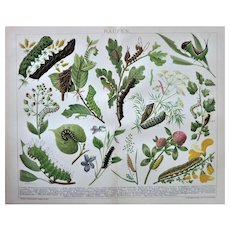 Caterpillars. Decorative Chromo Lithograph from 1898