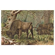 Bison: Old Chromo Lithograph from 1902 depicting Wisent