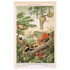 Baya: Chromo Lithograph with Images of Birds 1900