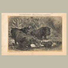 Hippopotamus: Antique Lithograph from 1898