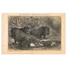 Hippopotamus: Antique Lithograph from 1898