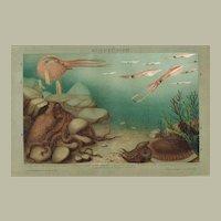 Cephalopod. Antique Chromolithograph 1898