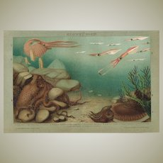 Cephalopod. Antique Chromolithograph 1898