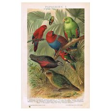 Parrots: Very decorative Chromo Lithograph from 1898