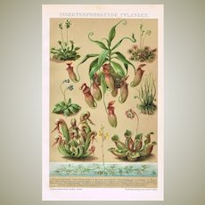 Insect Eating Plants. Decorative Chromo Lithograph from 1900