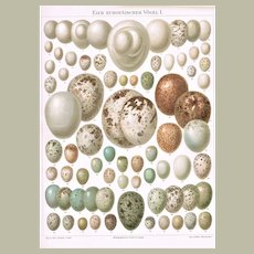 Eggs of European Birds. 2 Old Chromolithographs from 1900