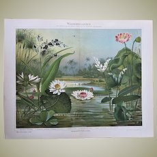 Lotus and Water Lilies. Antique Chromolithograph from 1898
