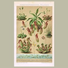 Insect Eating Plants Antique Lithograph from 1898