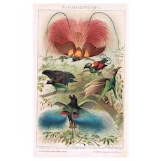 Birds of Paradise. Decorative Chromolithograph from 1898