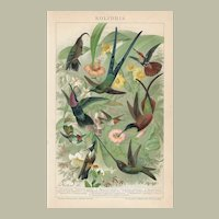 Hummingbirds. Old Chromolithographs from 1898