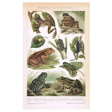 Frogs and Toads Antique Chromo Lithograph from 1898