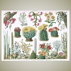 Cactus Antique Chromo Lithograph from 1900