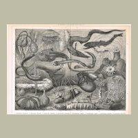 Antique Chromolithograph Deep Sea Animals 1898