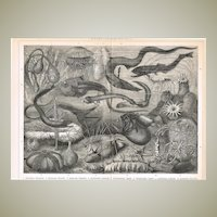 Antique Chromolithograph Deep Sea Animals 1898