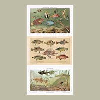 2 Chromolithographs of Fishes 1900