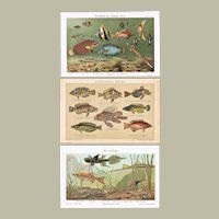 Three Antique Chromo Lithographs with Fishes