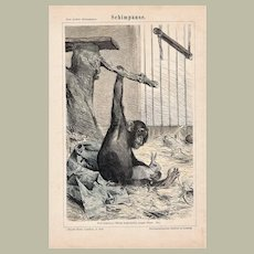 Chimpanzee Etching from 1892
