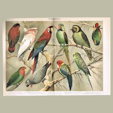 Parrots Chromo Lithograph from 1902