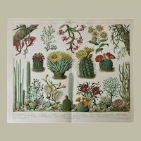 Cactus Antique Chromo Lithograph from 1898
