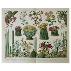 Cactus Antique Chromo Lithograph from 1898