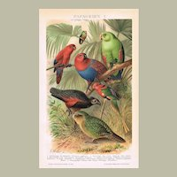 Parrots Chromo Lithographs 1898
