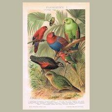 Parrots Chromo Lithographs 1898