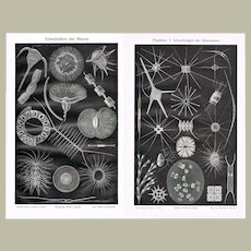 Two Antique Lithographs Floating Algae and Plankton