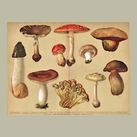 Poisonous Mushrooms Chromo Lithograph 1898