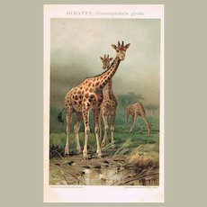 Giraffes Antique Lithographs from 1893