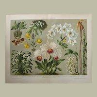 Orchids Chromo Lithograph 1892