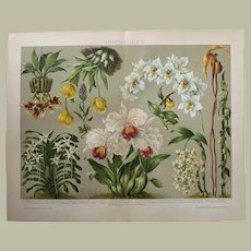 Orchids Chromo Lithograph 1892