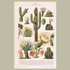 Cactuses Antique Lithograph from 1894