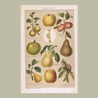 Pome fruits Lithograph from 1900