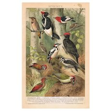 American Woodpeckers Decorative Lithograph from 1893