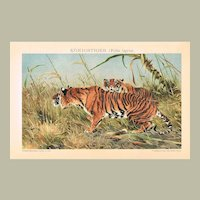 Tigers Decorative Lithograph from 1893