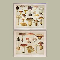 Mushrooms Two Decorative Chromo lithographs from 1898