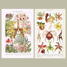Orchids Two Antique Lithograph from 1900