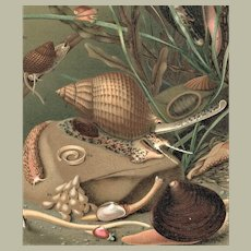 Old Chromolithograph with Mollusca 1894