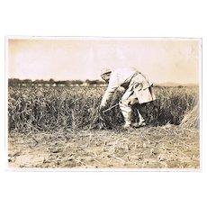 Old China Photo. Peasant harvesting Sorghum. 1925