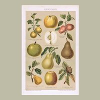 Antique Chromo Lithograph with Pome Fruit 1896