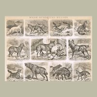 Wild Dogs and Hyenas Antique Lithograph from 1896