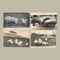 Four Old Postcards with Pigs Pre 1920