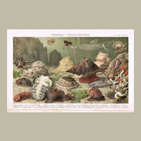 Antique Chromolithograph with 17 Snails 1900