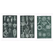 Development History and Floating Flora of the Sea. 3 decorative Chromo Lithographs from 1898